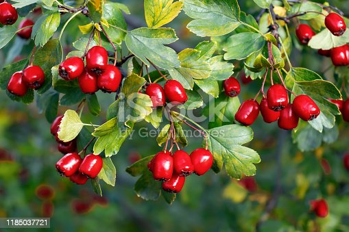 Bunches of ripe red berries of hawthorn, close up.