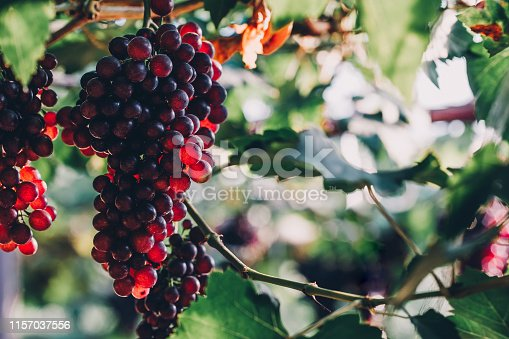 bunches of ripen grape hanging from vines in the farm