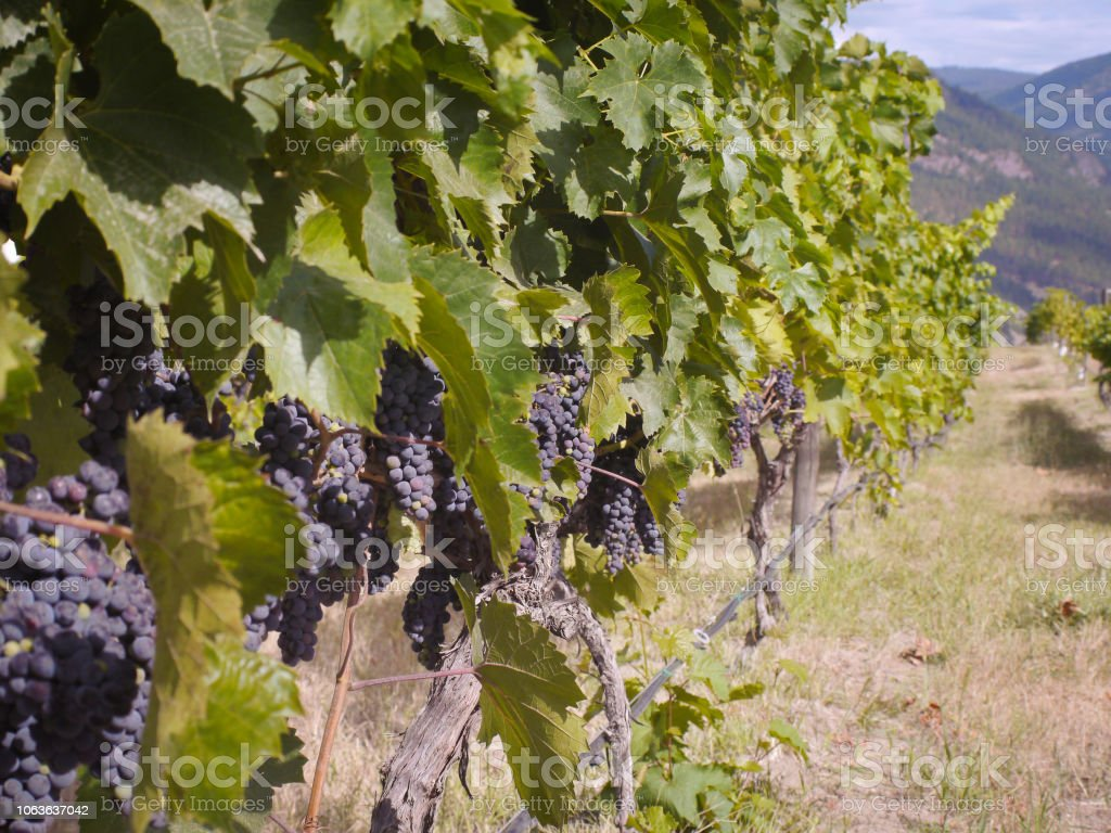Bunches of ripening grapes hanging on vines in a vineyard stock photo
