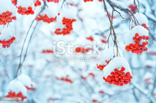 istock Bunches of rowan in the snow 1096345798