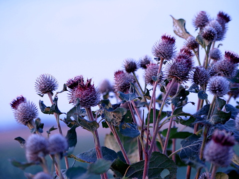 bunches of thistle flowers in the autumn sun, gray round thistles with flowers with purple petals, wild gray-green plants, weeds, wallpaper,blue sky