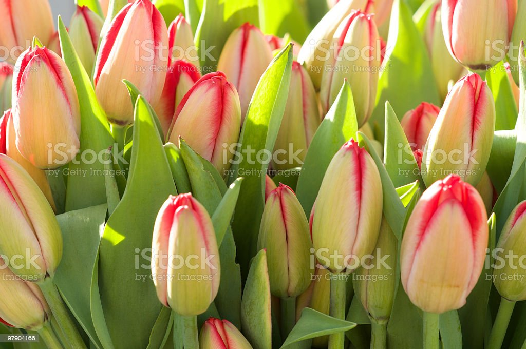Bunches of Tulips in Early Morning Light at the Market royalty-free stock photo