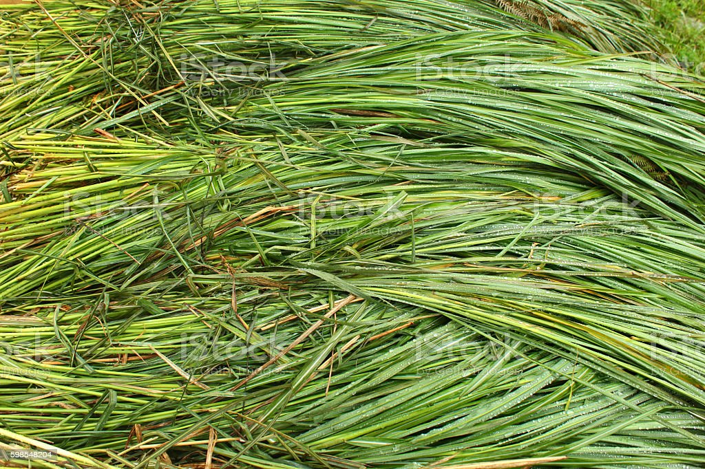 Bunches of wet green grass with water drops stock photo
