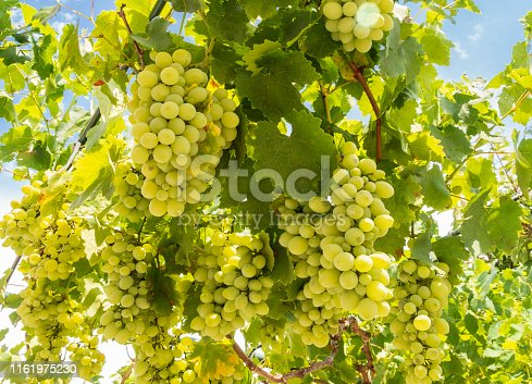 Bunches of white grapes ripen under the gentle summer sun on the Greek island of Evia