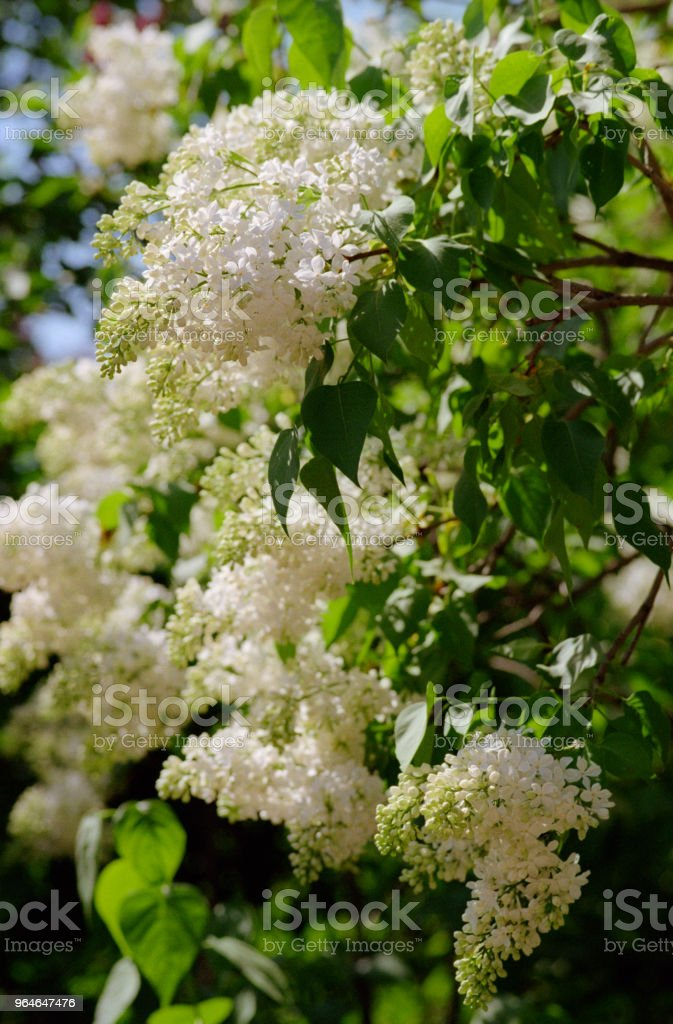 Bunches of white lilac tree flowers. Shot on film royalty-free stock photo