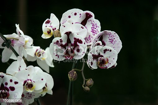 Bunches of white orchid flowers with purple spots set against dark background