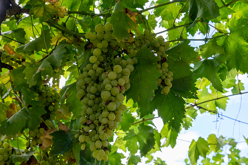 bunches of white table grapes