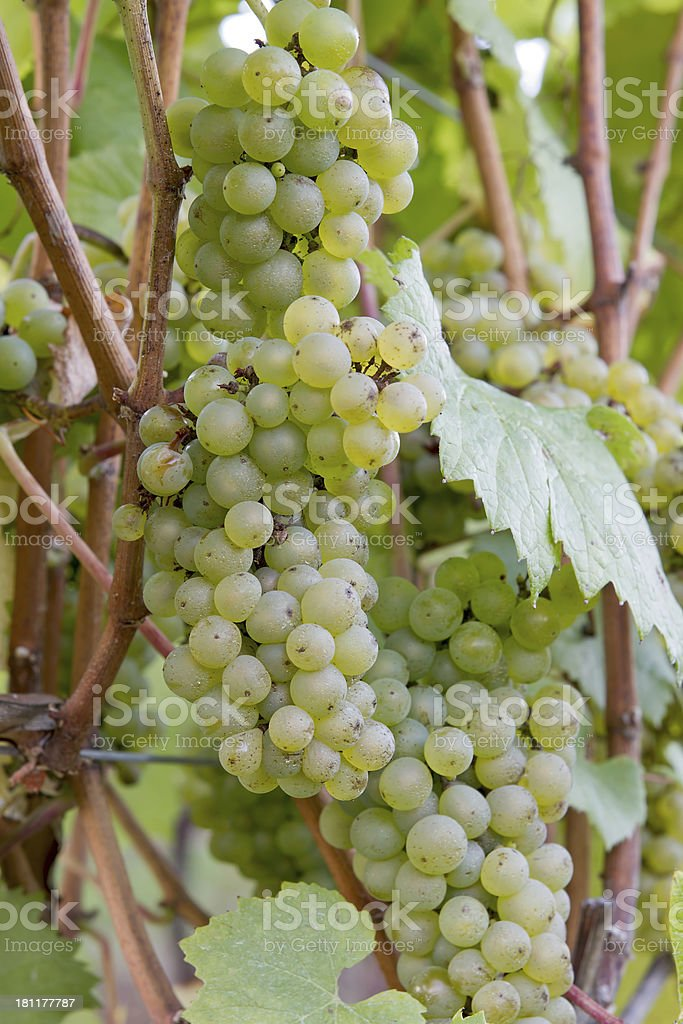 Bunches of White Wine Grapes stock photo