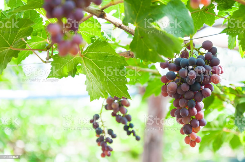Bunches of wine grapes hanging on the vine with green leaves stock photo