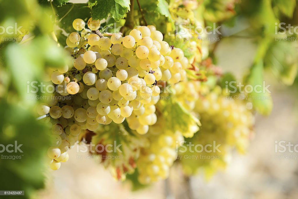 bunches white ripe grapes on vine vineyard countryside ready harvest stock photo