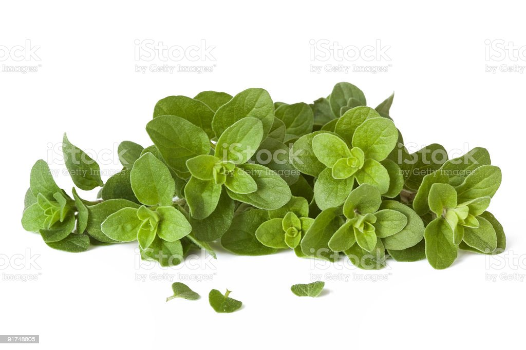 A bundle of freshly picked green oregano herb stock photo