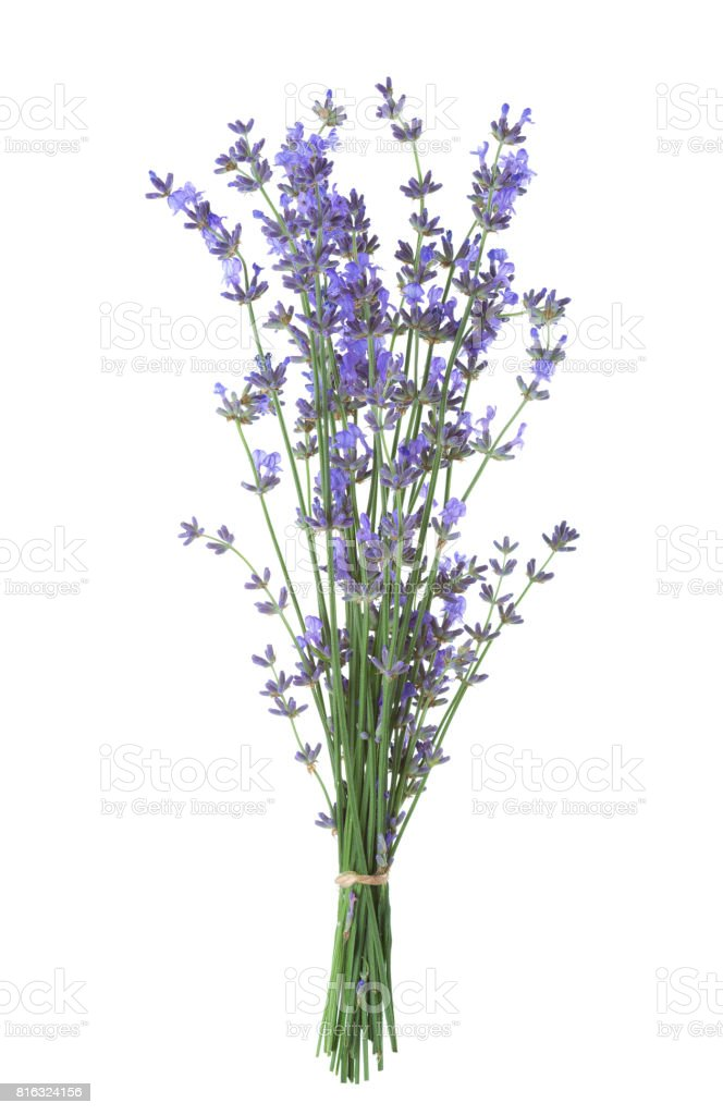 Bundle of lavender isolated on white background. stock photo