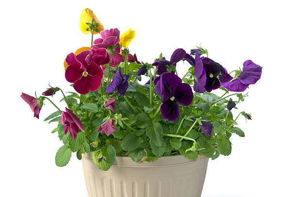 Bundle of pansies on isolating background