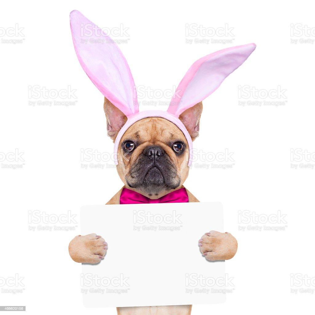 bunny easter ears dog stock photo