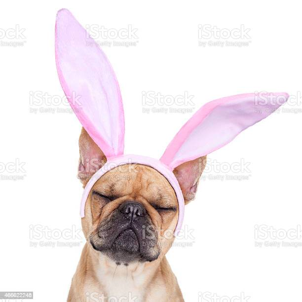 Bunny easter ears dog picture id466622248?b=1&k=6&m=466622248&s=612x612&h=zmwxwdgu0ftywye3mb3jiqs2e9f1vgxvu2z5wtxgkms=
