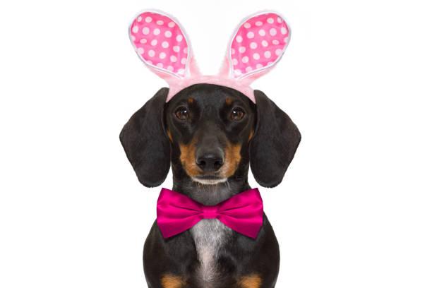 easter bunny ohren hund - faschingssprüche stock-fotos und bilder
