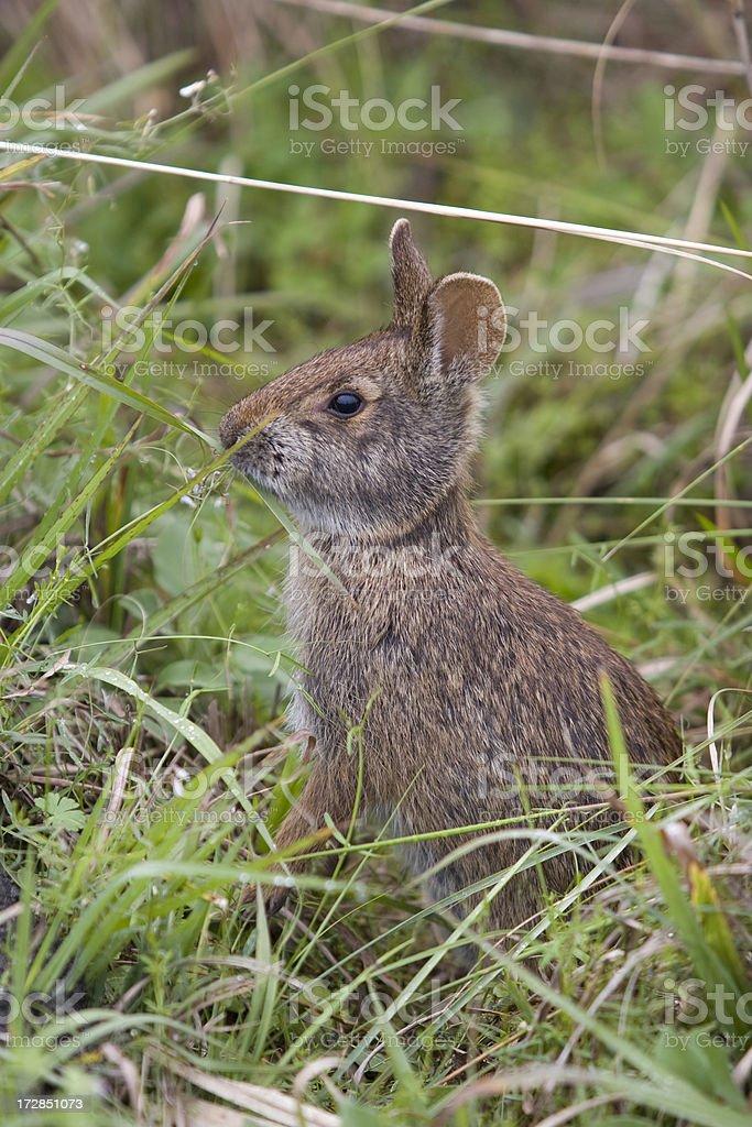 Bunny eating grass stock photo