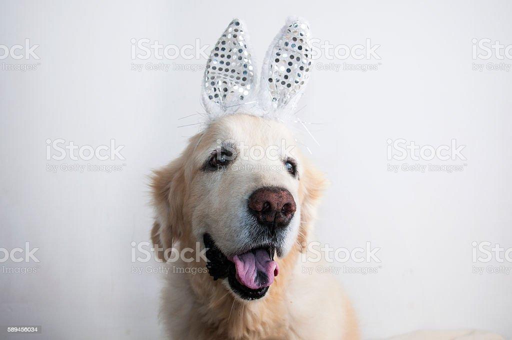 Bunny Golden Retriever dog isolated on white. Bunny ears. Tongue stock photo