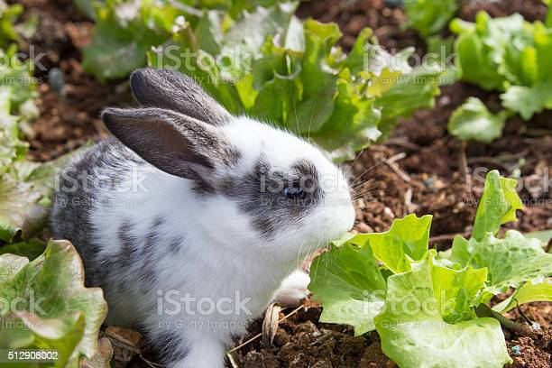 Bunny in garden picture id512908002?b=1&k=6&m=512908002&s=612x612&h=mraa2x2mkwusxs5ynyr2algmudcsxaxiep h93m9nru=
