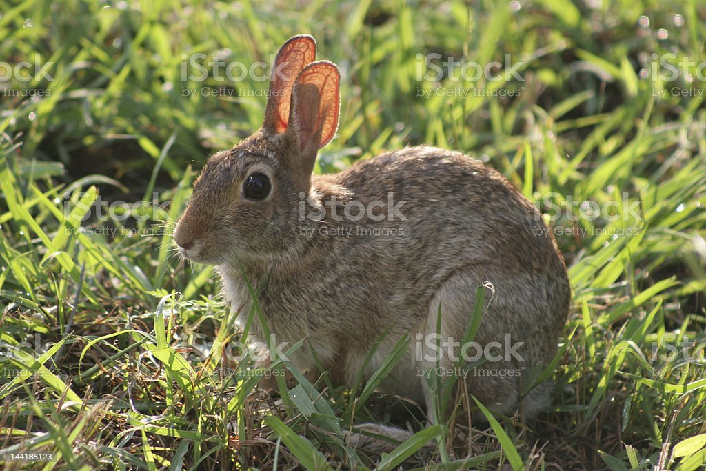 Bunny in the Grass royalty-free stock photo