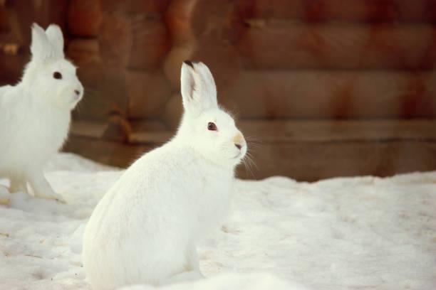 hase im schnee. kaninchen im winter. - schneeschuhhase stock-fotos und bilder
