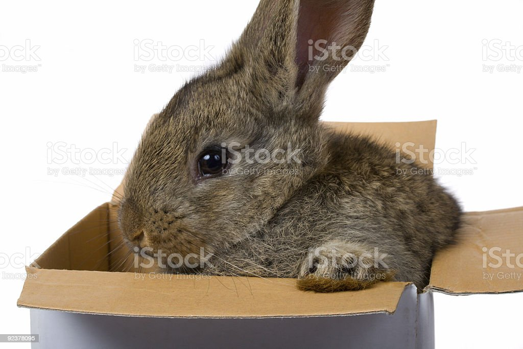 bunny on box as gift royalty-free stock photo