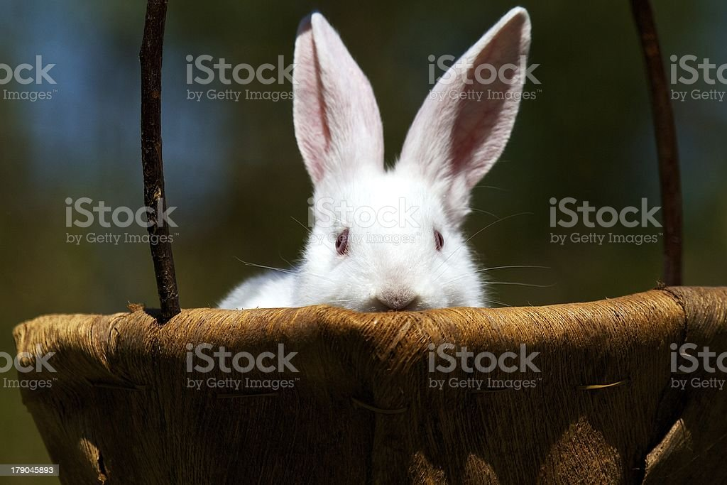 Bunny peeking stock photo