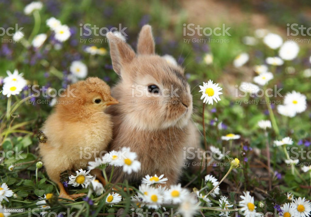 Bunny rabbit and chick are best friends royalty-free stock photo