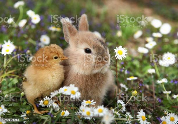 Bunny rabbit and chick are best friends picture id679868080?b=1&k=6&m=679868080&s=612x612&h=fm1ctutvgetguav3tedczpn23 yuz9 ywmej5fkmkmm=