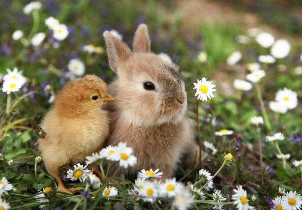 Bunny rabbit and chick are best friends stock photo