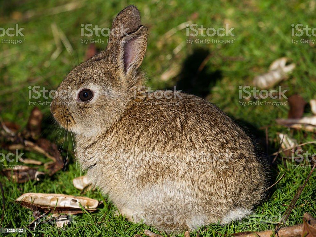 Bunny Rabbit in the Grass stock photo