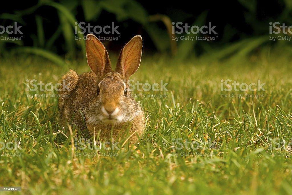 Bunny stare royalty-free stock photo