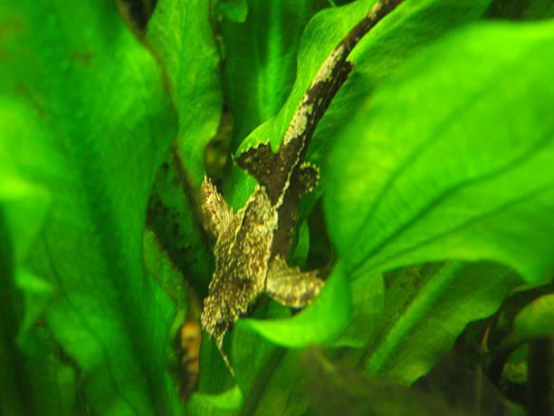 Bunocephalus verrucosus stock photo