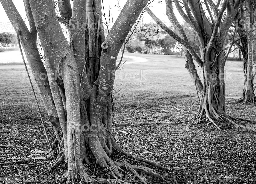 Bunyon Trees in Black and White royalty-free stock photo