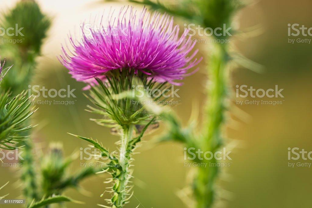 Bur flowers stock photo