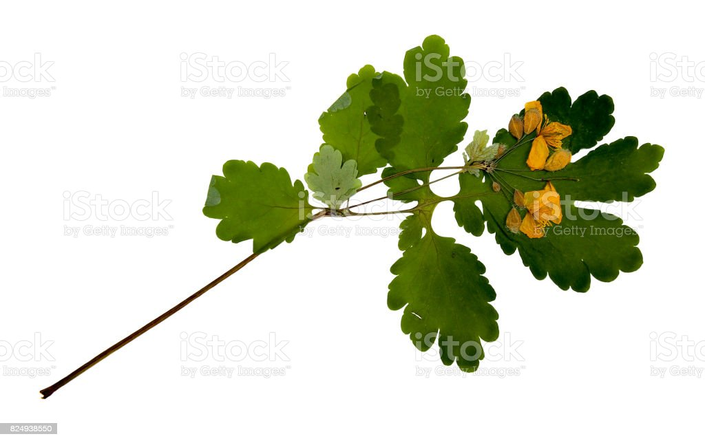 Bur marigold. Dried pressed herb with yellow flowers isolated on white stock photo