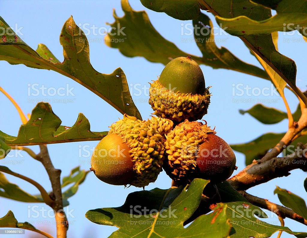 Bur Oak Acorn Cluster stock photo