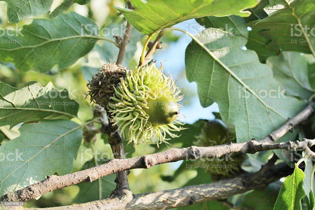 Bur Oak acorn on tree stock photo