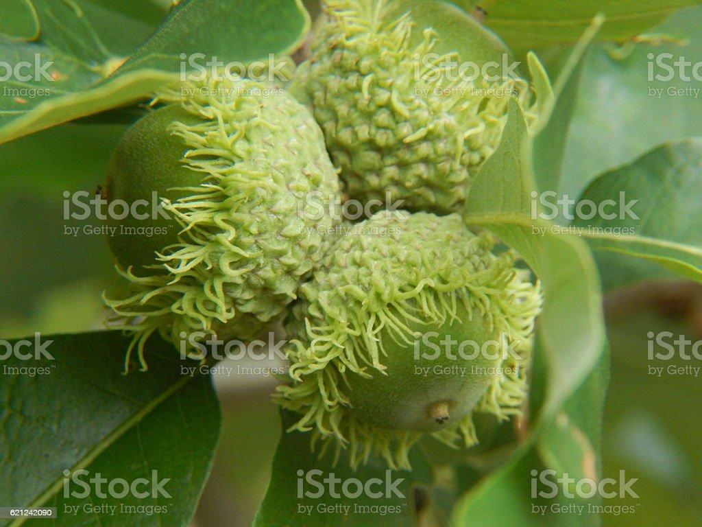 Bur Oak Acorns stock photo