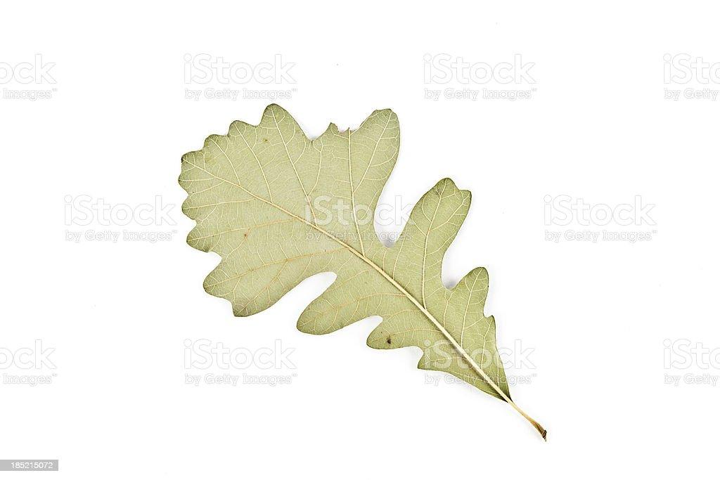Bur Oak back - Quercus macrocarpa stock photo