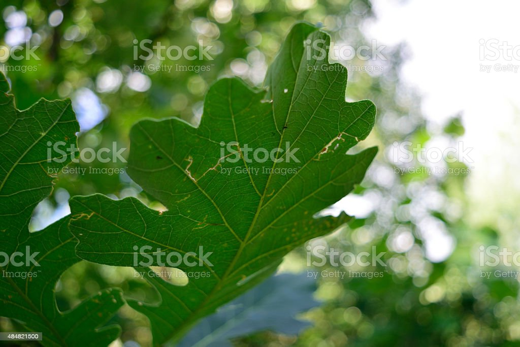 Bur Oak (Quercus macrocarpa) Leaf Closeup Detail stock photo