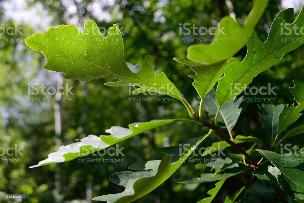 Bur Oak (Quercus macrocarpa) Leaf Detail stock photo