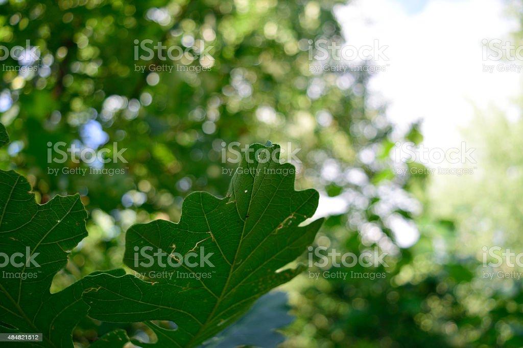 Bur Oak (Quercus macrocarpa) Leaves in the Summer stock photo