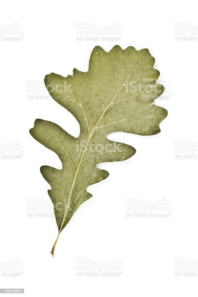 Bur Oak - Quercus macrocarpa stock photo
