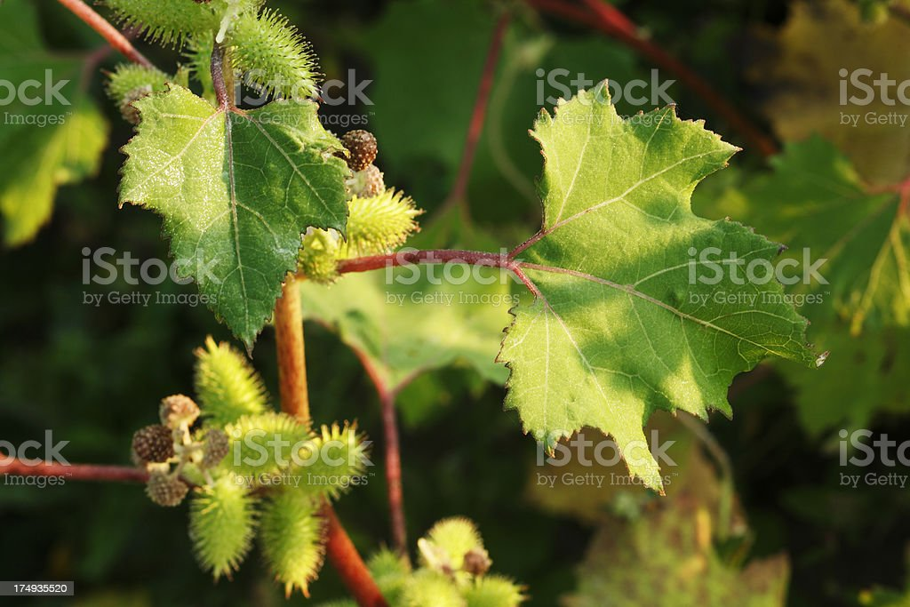 Bur with green leaves and red stems. royalty-free stock photo