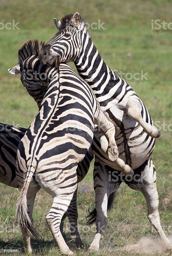 Burchell zebras royalty-free stock photo