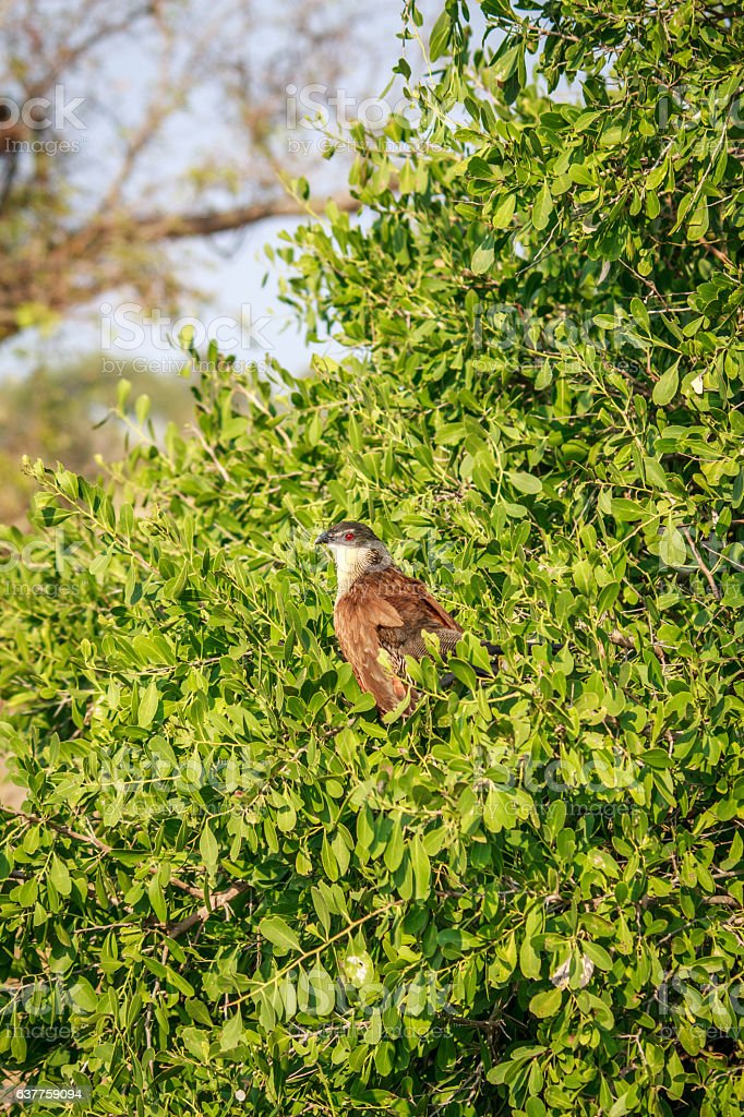 Burchell's coucal in a tree. stock photo