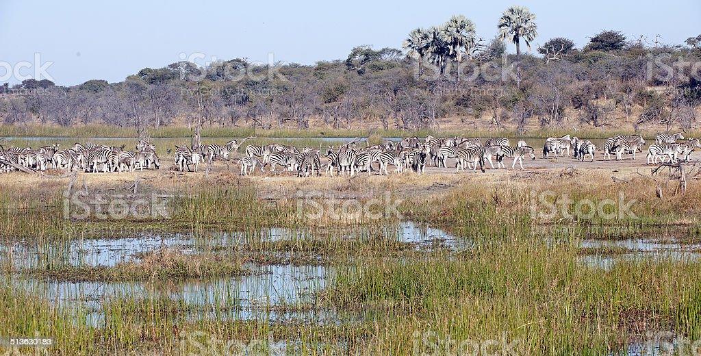 Burchells Zebra en masse, Botswana stock photo