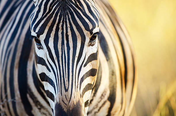 Burchell's Zebra Face - South Africa Burchell's Zebra face in evening light.   Kruger National Park, South Africa transvaal province stock pictures, royalty-free photos & images