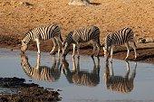 istock Burchell's Zebra in Etosha National Park, Namibia 1317536418